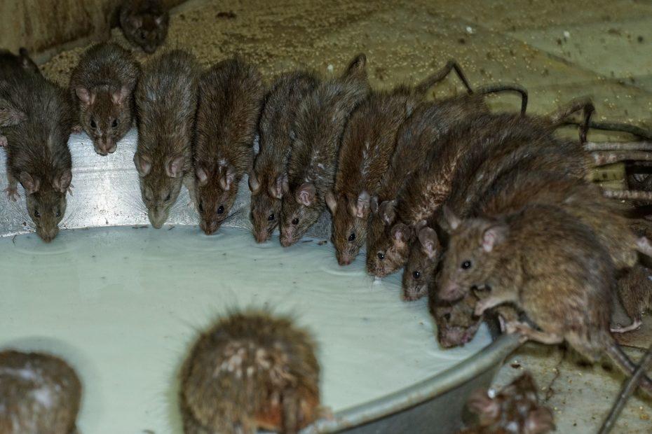 Rats at Karni Mata Temple Bikaner